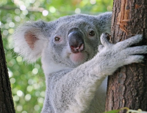 Meet Australian Animals Today with These 2 Virtual Tours